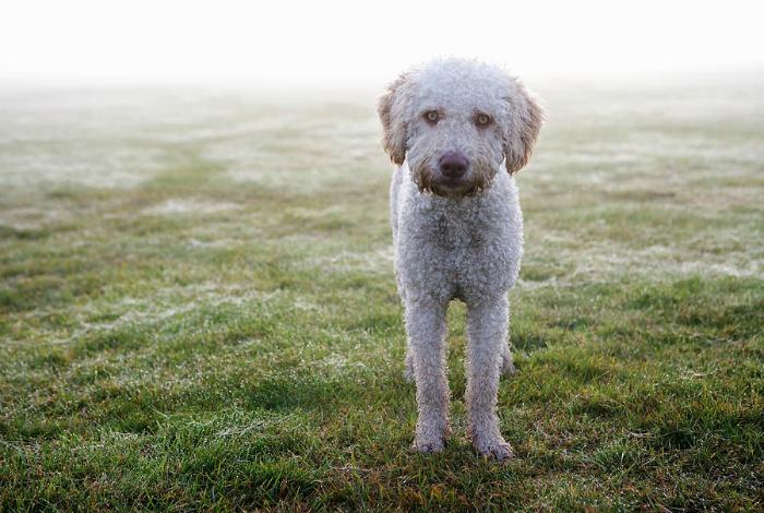 Испанская водяная собака.