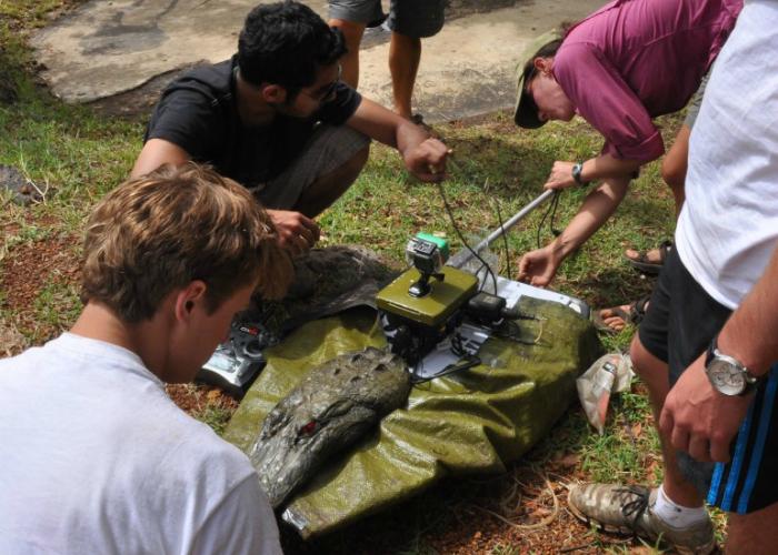 Лодка в виде крокодила помогает ученым изучать бегемотов.