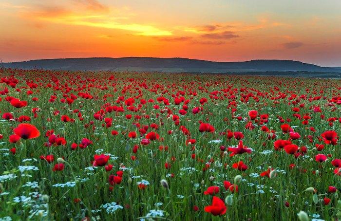 Маковые поля Крыма. Автор фото: Сергей Анашкевич