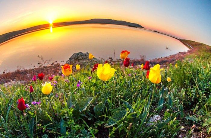 Тюльпаны Шренка. Автор фото: Сергей Анашкевич