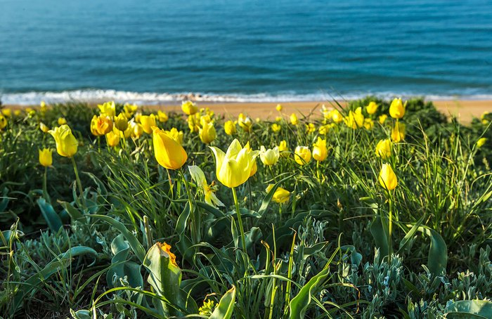 Крымские тюльпаны на берегу моря. Автор фото: Сергей Анашкевич