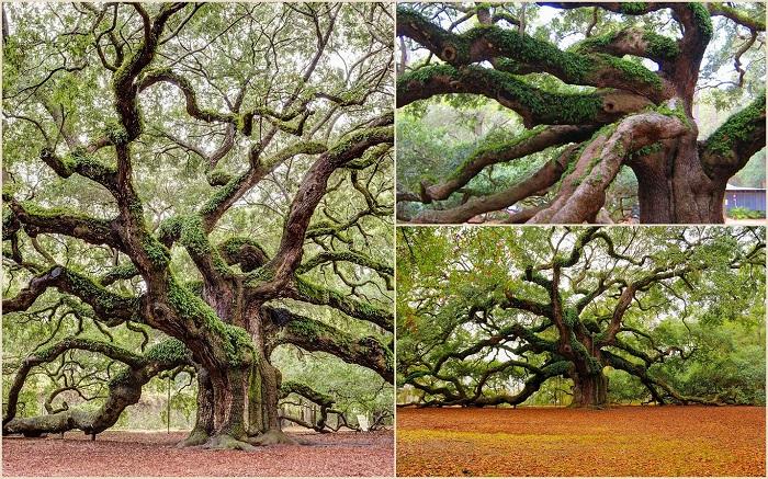 В США в штате Южная Каролина вот уже 1500 лет растет дуб, который именуется Дубом Ангела. Примерная высота этого гиганта - 20 метров, ствол в диаметре - 2,7 метров, а самая длинная ветка составляет 27 метров.