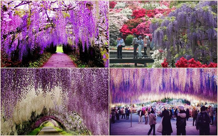 Парк цветов Асикага находится в одноименном городе в японской провинции Точиги нао Хонсю (Япония). Парк охватывает около 8,2 га и славится разнообразными видами глициний.