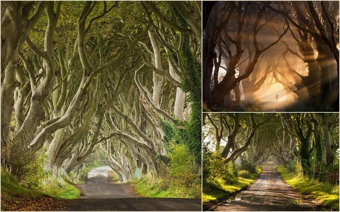 Темные, живые изгороди, Северная Ирландия – это длинные, красивые аллеи Буковых деревьев, которые были посажены в 18 веке. Проспект является одним из самых фотографируемых природных явлений.