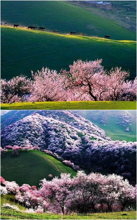 Абрикосовая долина Йили, Китай.