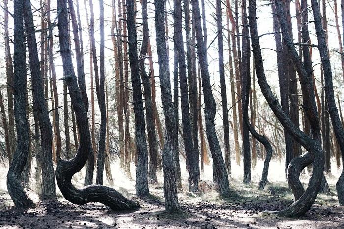 Танцующий или пьяный лес, Калининград.