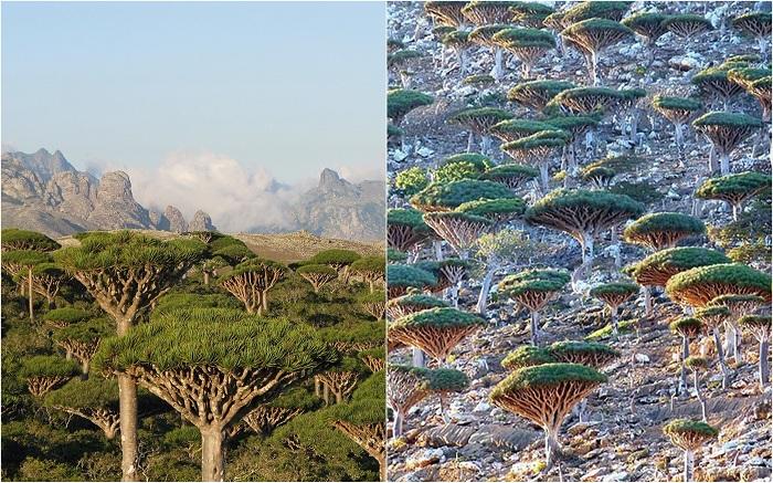 Лес «Кровь дракона», остров Сокотра.