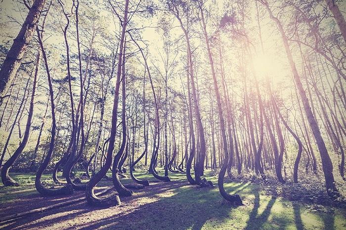 «Кривой лес», Польша.
