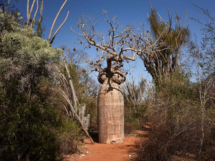 Колючий Лес, Мадагаскар.