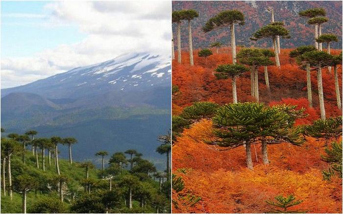 Лес «Обезьянья Головоломка», Чили.