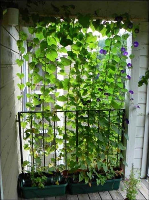 Небольшие висячие сады всё чаще появляются на балконах и лоджиях.