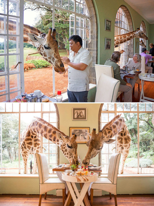 Настоящим любителям дикой природы и экзотического отдыха обязательно придется по душе кенийский отель «Giraffe Manor». Восточная Африка, Кения, Найроби.