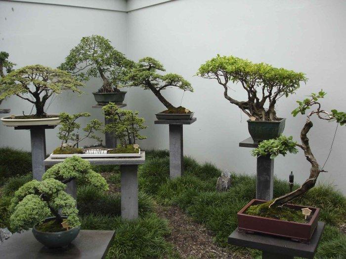Японские декоративные комнатные деревья.