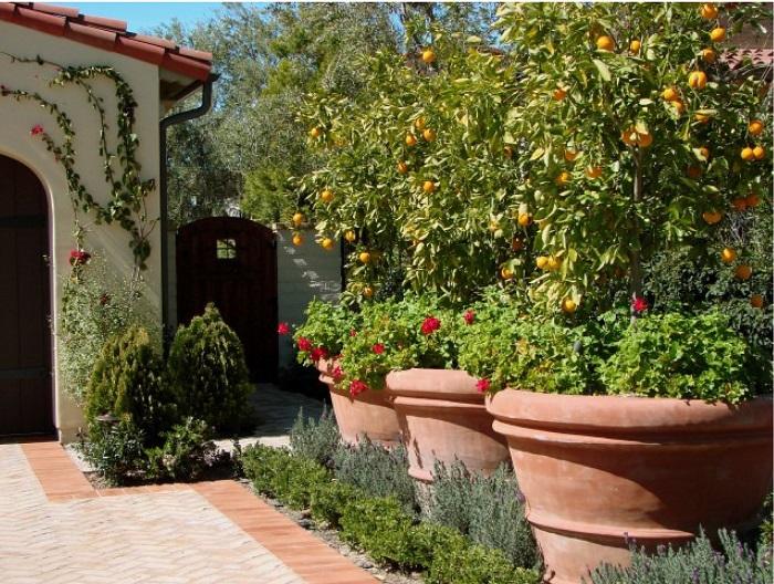 Взрослое лимонное дерево, любящее тепло и достаточное количество влаги.