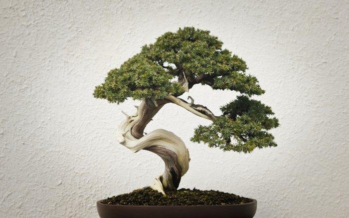 Выращенное в домашних условиях дерево в виде бонсая.