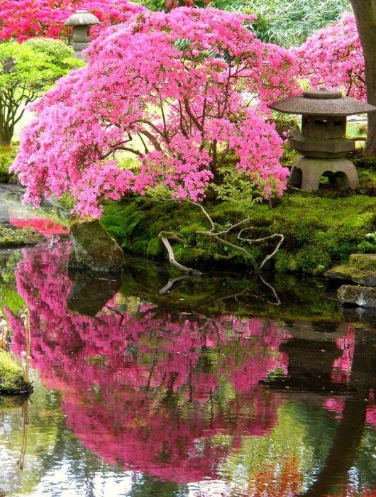 Цветущая сакура, склонившая ветви над декоративным прудом.