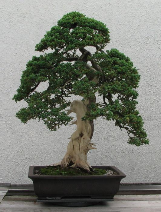 Классический бонсай впишется в интерьер любого помещения или садового участка.