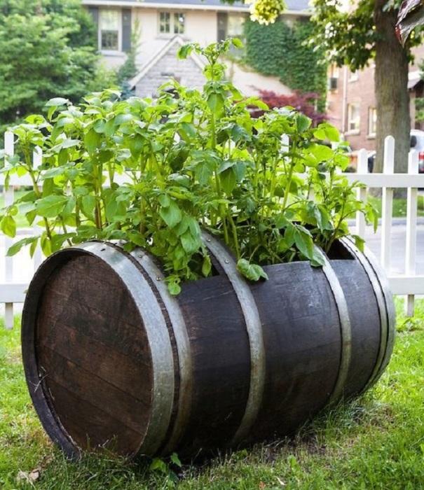 Старая бочка в виде кашпо может стать настоящим украшением для садового участка.