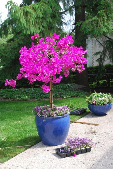 Розовое дерево позволит смягчить некоторые архитектурные элементы дачного участка.