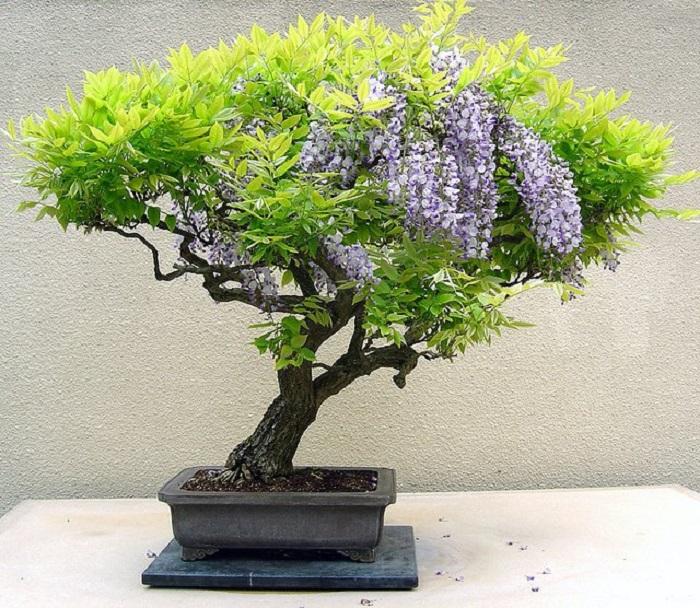 Декоративное дерево бонсай с зелеными и фиолетовыми листьями - частичка природы дома.