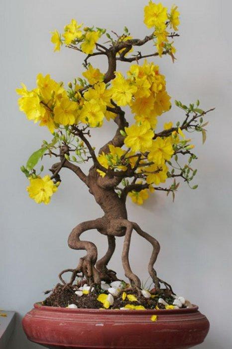 Необычная форма бонсая с желтыми листьями и выглядывающими корнями станет прекрасным приобретением для домашнего сада.