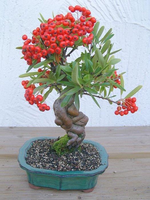 Растение в форме бонсай с мелкими листьями и сочными плодами.