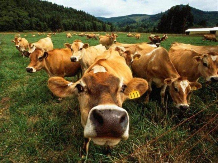 Коровы умнее, чем кажутся, того гляди и скажут чего-нибудь.