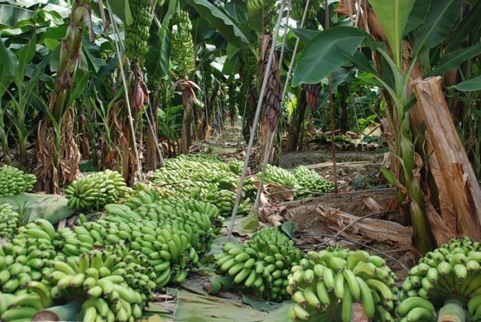 Бананы обожают воду, также как и орехи.