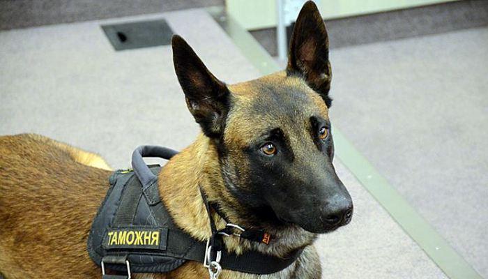 Собаки обладают уникальной возможностью обнаружения наркотиков.