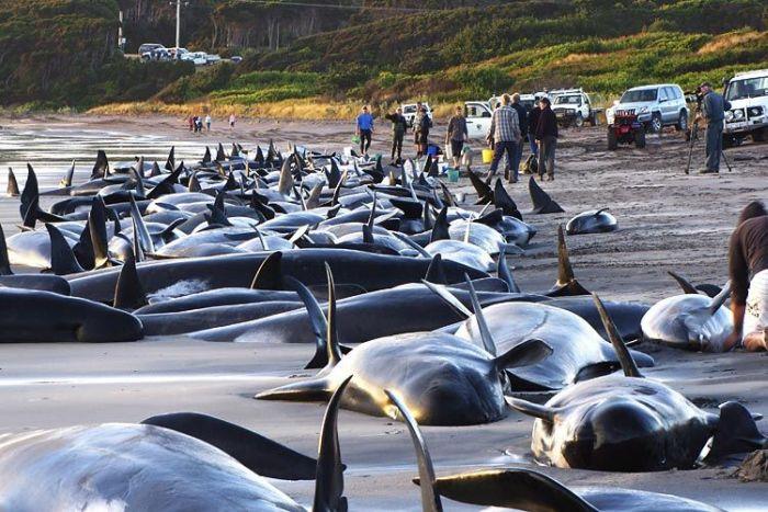Ките и дельфины, выбросившиеся на берег.