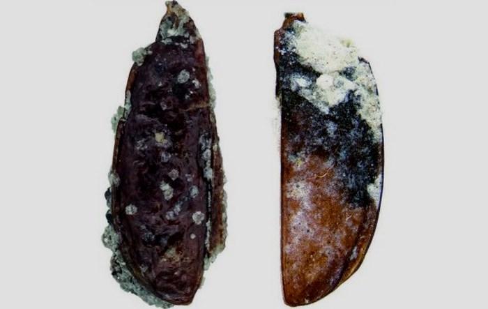 Окаменелости, найденные на леднике Бирдмор.