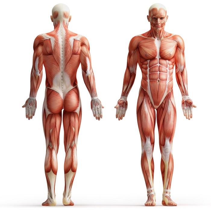 Такие разные мышцы.