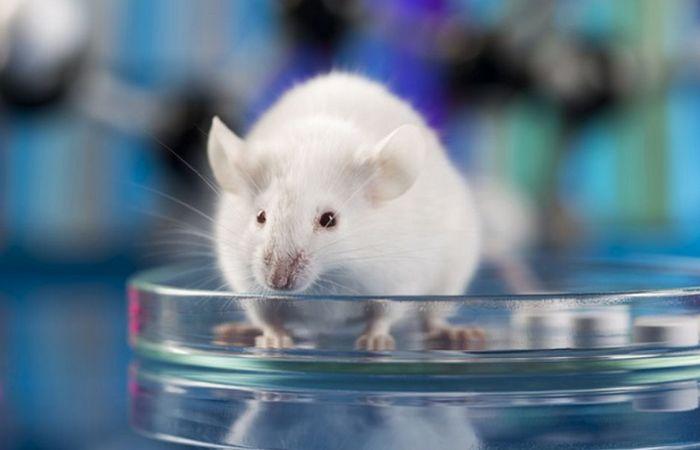 Лабораторные мыши.
