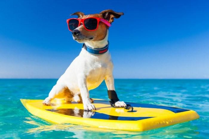 Уроки серфинга для собак.