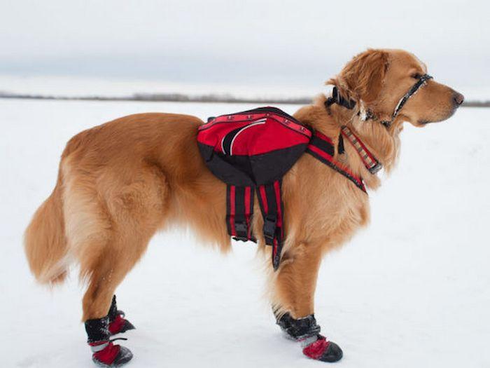 Собака в зимней экипировке.