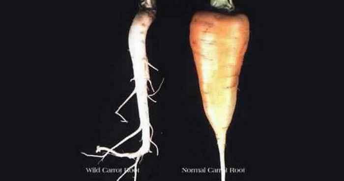 Морковь изменена до неузнаваемости.