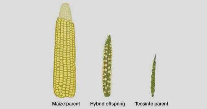 Кукуруза изменена до неузнаваемости.