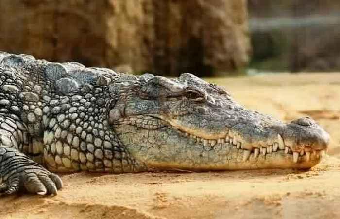 Крокодил как спасение от нежелательной беременности.
