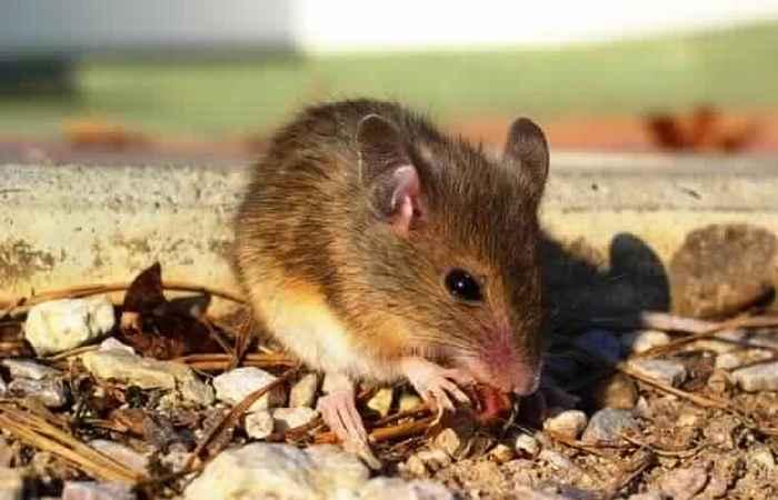 Мышь для избавления от зубной боли.
