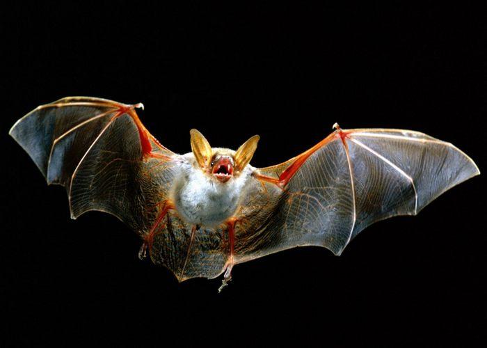 Из 5000 видов млекопитающих 1000 летучие мыши.