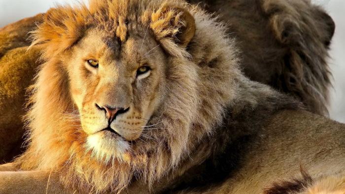 Ухо льва - тоже лекарство.