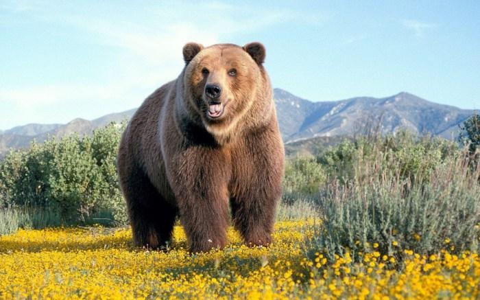 Шерсть медведя как лекарство от нервов.