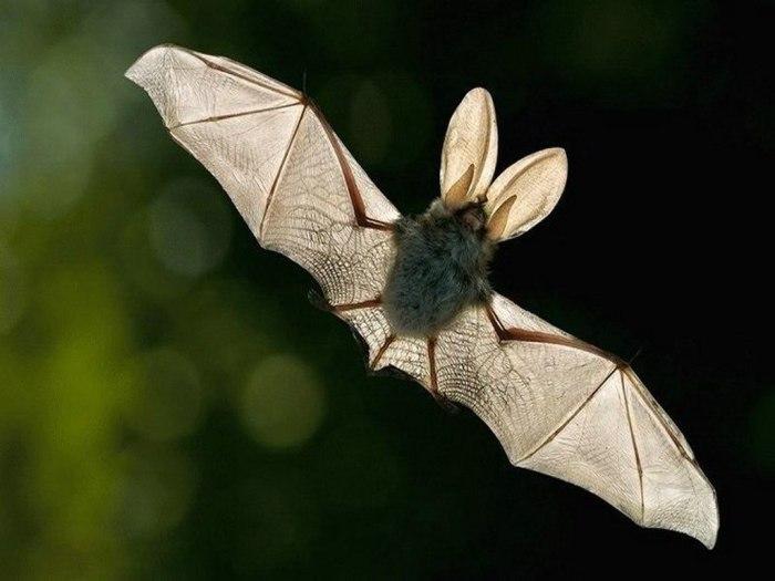 Летучая мышь как средство от гепатита.