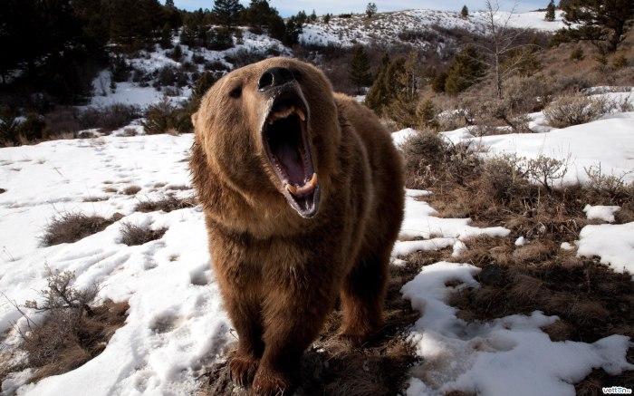Медведь не страдает мышечной дегенерацией после спячки.