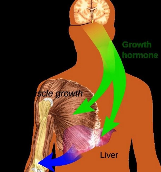 Тело вырабатывает гормоны