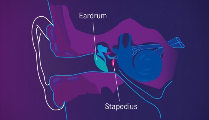 Stapedius - Самая маленькая мышца