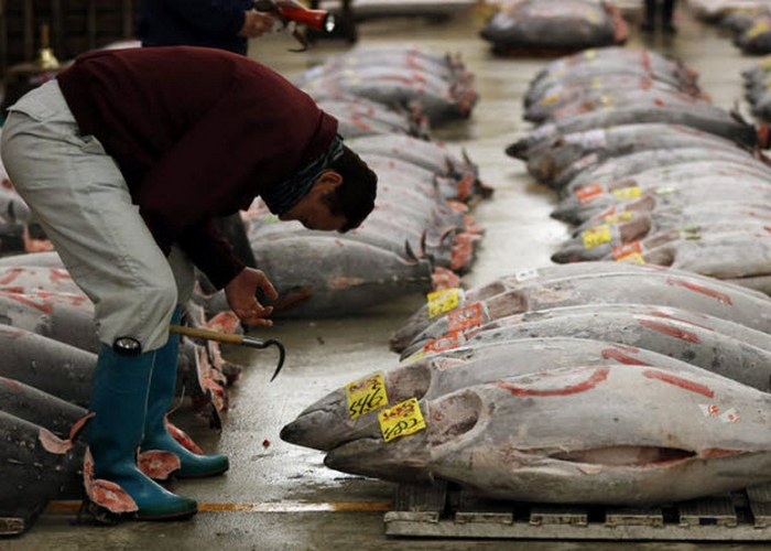 Более 80% мирового урожая тунца уходит в Японию.