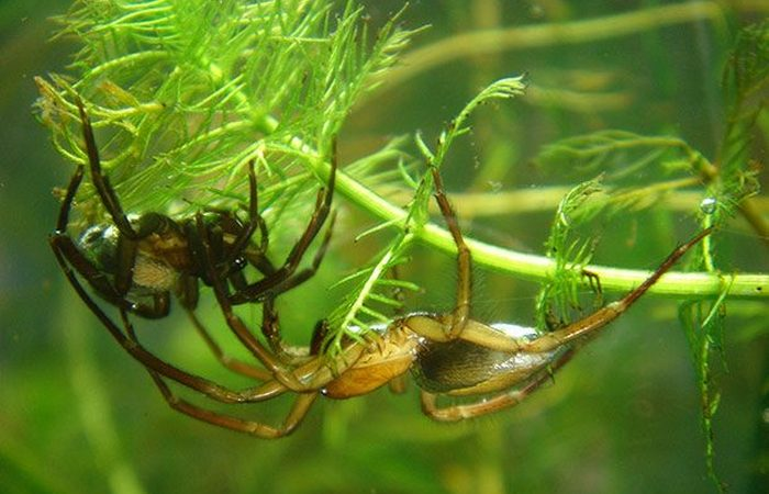 Был скрыт под водой «паук-серебрянка».