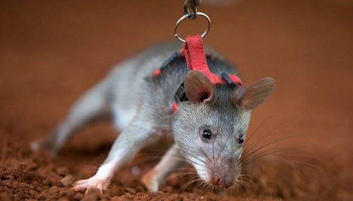 Уникальные возможности крыс.