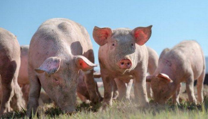 Уникальные возможности свиней.
